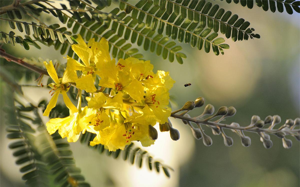 acacia-flor2